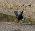 Glossy Ibis © David Paterson, 13/9/2020, Fremington Pill, This Glossy Ibis stayed in this position for several minutes , enjoying the sun.