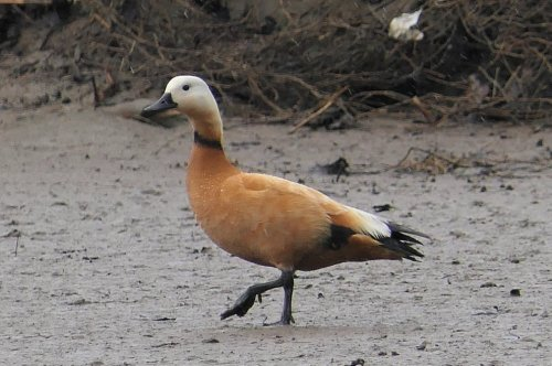 Ruddy Shelduck (drake)