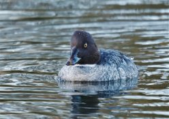 Female Goldeneye