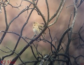 Tree Pipit digiscoped