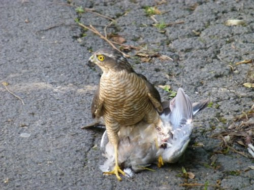 Male sparrowhawk with woodpigeon