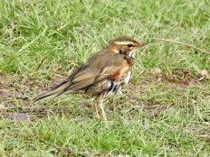 Redwing at Topsham Rec.