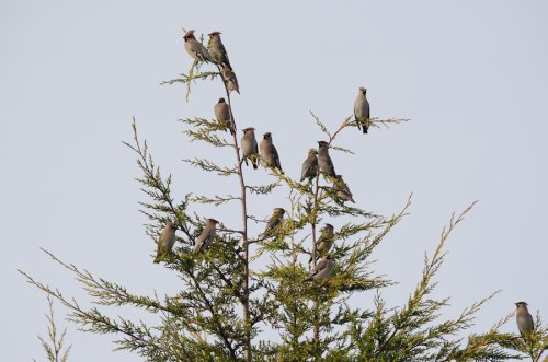 The group of waxwings