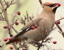 Waxwing © Steph Murphy, 21/1/2017, A38 Heathfield, Wonderful to see these lovely birds