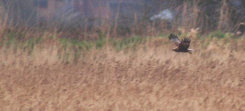 Marsh Harrier - Topsham 10/3/2013
