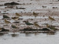 Golden Plovers and Lapwings