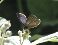 Ringlet with iridescent upper wing