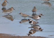 LRP with Ringed Plovers and Dunlin.