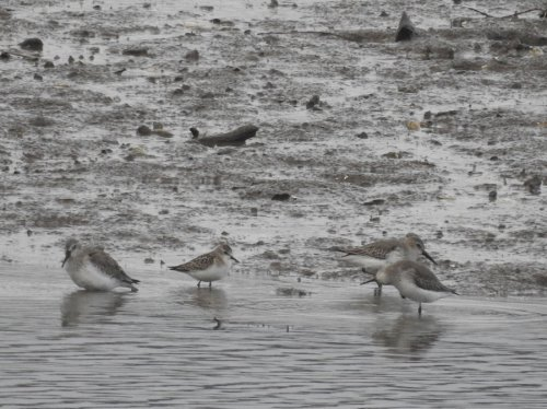 Little Stint Axe Estuary