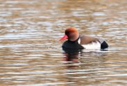 Male Red crested Pochard