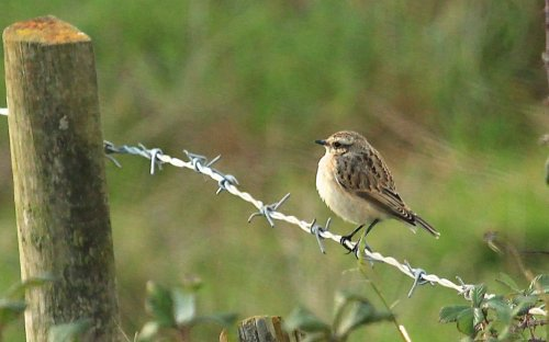 Whinchat or first Winter Stonechat?