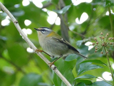 Firecrest Clennon Lakes 19 Nov 2015 ML $k video still