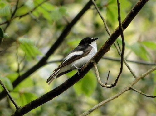 Pied Flycatcher, Yarner Wood