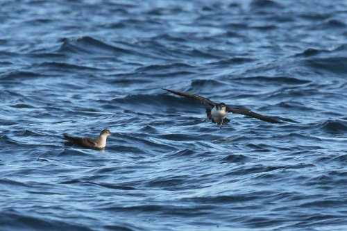 Balearic and Manx shearwaters