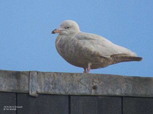 Glaucous Gull - Exmouth 23/3/2014