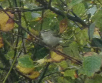 Yellow-browed Warbler Berry Hd 29 Oct Ml