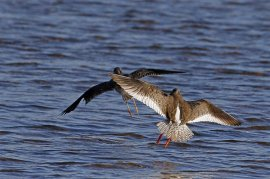Being chased by Redshank, showing damage to wing feathers