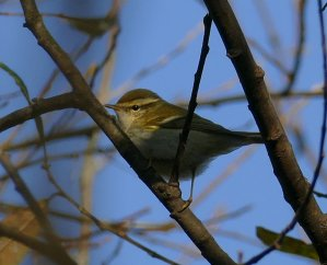 Yellow-browed Warbler Clennon Lakes 30 Nov 2016 ML