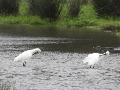 The socially - distancing Spoonbills today.