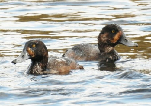 Scaup (Thanks Mike Langman)