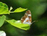 White Admiral in low tree