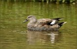 Gadwall © Ron Champion, 4/9/2017, Clennon Valley lakes, Just admire the colours and patterns in its plumage.