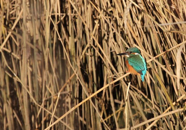 Kingfisher by Chris Townend