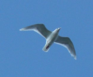 Kumliens Gull S Huish 14 March 2015 ML