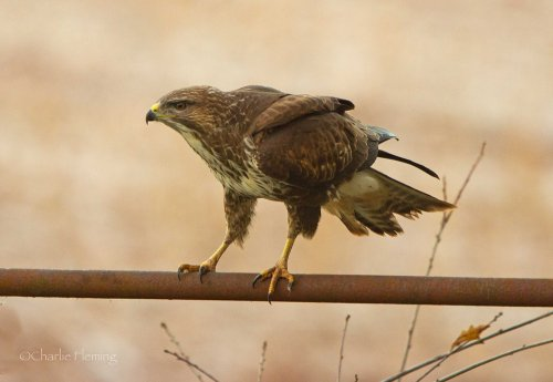 Buzzard (believed 1st winter male)