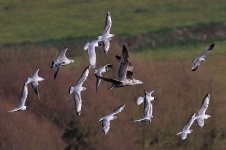 Mediterranean Gulls, Black headed gulls, a common gull and herring gulls