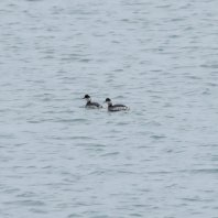 Record image Black n#Necked Grebe