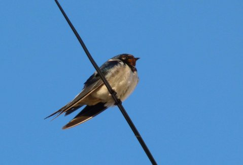 Swallow Clennon Valley 3 December 2014