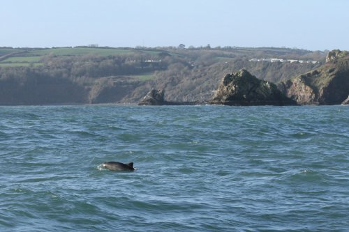 Porpoise, Berry Head. (Durl Head in background).