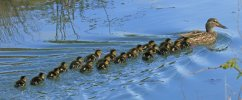 Mallard © Martin Batt, 1/5/2018, Braunton Marshes, A very large brood to greet the new month...