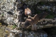 The female Kestrel, possibly still airborne, takes hold of her partner's prey.