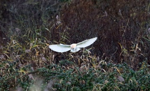 Record shot one of Barn Owl