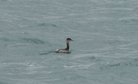 Black-necked Grebe Broadsands 6 Nov 2014 N Smallbones
