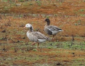 Pink-footed Goose and friend