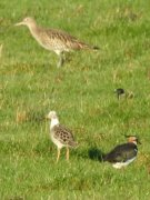 Distant image of a Ruff with Lapwing and Curlew