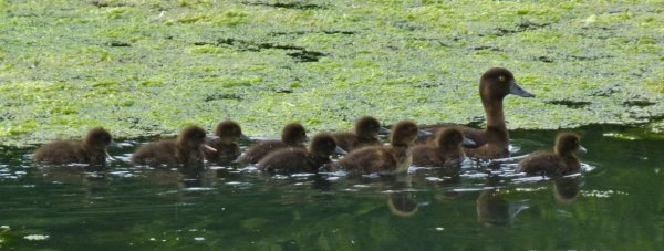 Tufted Duck Brood Clennon Valley 26 June 2014 ML