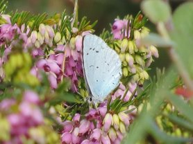 Holly Blue (female)