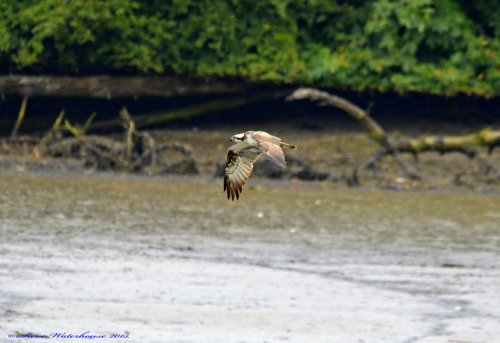 Osprey on passage