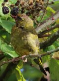 Greenfinch with lunch