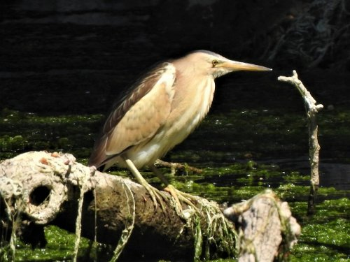 Little Bittern, Little Egret and Little Bittern, Little Bittern