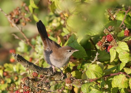 Cetti's Warbler, Otter Estuary by Chris Townend
