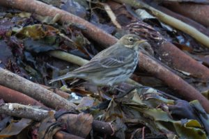 Rock pipit ssp. Wembury 1 Dec 2012 NM