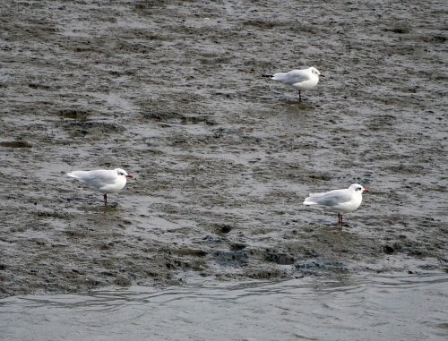 Two adult winter Mediterranean Gulls, River Caen.