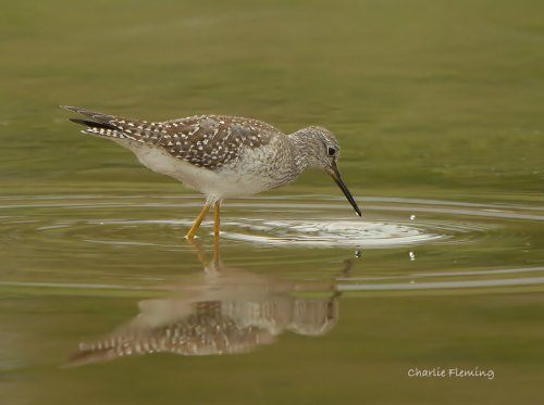 Lesser Yellowlegs, Trews Weir Exeter