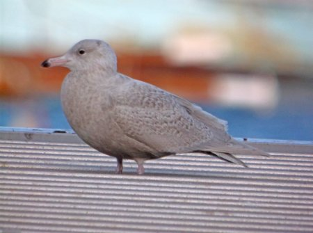 Glaucous Gull Brixham 30 Jan 2015 ML
