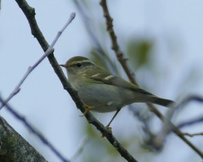 Yellow-browed Warbler Broadsands 15 Nov 2016 ML